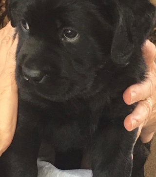 Halle, a gorgeous black lab female, at two months old, the latest addition to our pack