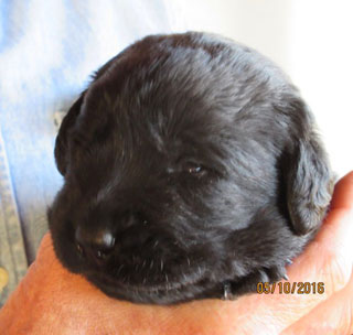 This black lab pup has already opened his eyes and can see shapes.  Steve is holding him up for his camera close up -- he is so tiny, only his little head sticks out of Steve's fist, and his little stub nose is beyond adorable.