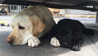 Two lovely labs, keeping cool in shade gifted by a trailer