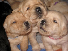 three yellow lab puppies, eyes just barely open, vie for attention, stuffing their sweet little muzzles into the camera's screen