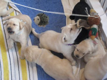 six yellow lab puppies, about a month old, terrorizing a mobile of stuffed animals, including one hedgepig