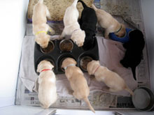 six yellow lab puppies, with two black lab puppies, each eating out of his or her own dish.  Age, about one month.