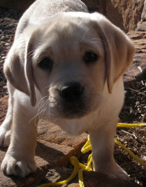 one last sad yellow lab puppy, hoping someone will take him home to be his forever friend and love