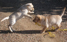 two yellow lab puppies play-fighting.  One is pouncing on the other, who is deciding how to withstand the inevitable impact of an unstoppable force