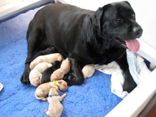 Trey, awake and panting, as several of her puppies try to feed.  There are 6 yellow lab puppies and 2 black lab puppies visible at her sides