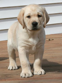 a yellow lab puppy, three quarter view, standing in front of a beige background.  The puppy is already exhibiting those amazing qualities that will win her best in show later in life