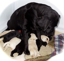 Trey, Reve's black lab foundation dam, surrounded by three yellow lab puppies and three black lab puppies, all eager for their dinner