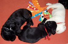 four black lab puppies and one yellow lab puppy all asleep peacefully on a red background