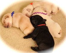 three yellow lab puppies sleeping like angels, mixed in with one black lab puppy, at about 2 weeks of age