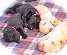 two yellow lab puppies, sleeping peacefully with two black lab puppies, all about two weeks old