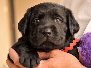 head shot of purebred black lab puppy, Lark, at one month