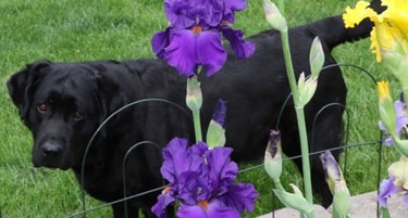 Sweet Lark, lurking near the purple iris flowers.  She is an English-style black lab, and the 2016 foundation dam for both Rozzay Labs and Reve Labs.