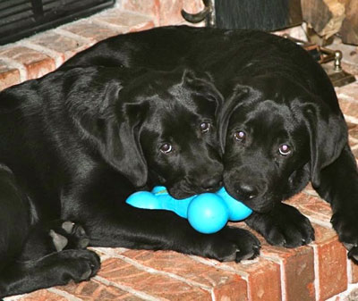 Lark and Hawk, two wonderful black lab puppies, interrupted in their tussle over a bright blue toy.