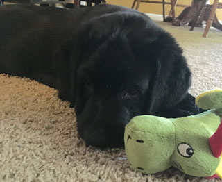 A black lab pup, curled with his toy, waiting to play.