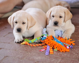 two adorable yellow lab pups thinking about how to handle a new toy