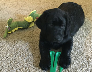 A black lab pup, sadly waiting for fun.