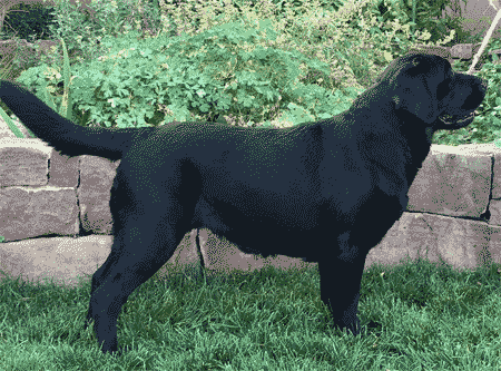 Sonne - our rising star and soon-to-be matriarch of Reve Labradors