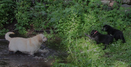 black lab puppies on a bank, reverently watching Relle retrieve from the river
