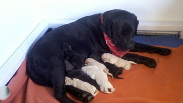 Our foundation dam, Rozzay's Tresor d'Amour, with her 2010 litter